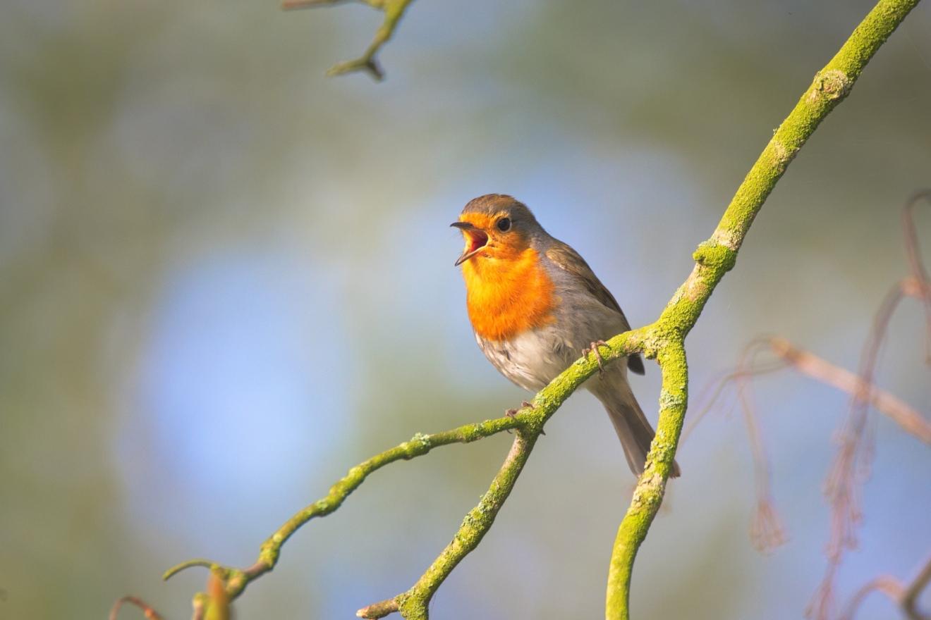 vogel zingend